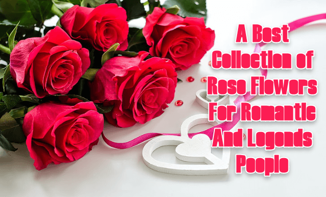 Best Collection of Rose Flowers